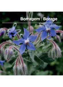 sementes-de-portugal-borragem