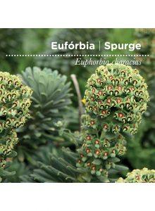 sementes-de-portugal-euforbia