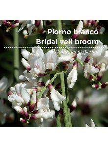 sementes-de-portugal-piorno-branco