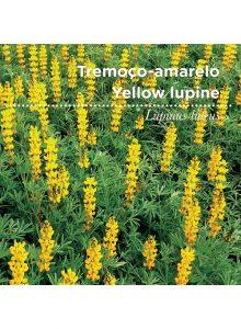 sementes-de-portugal-tremoco-amarelo