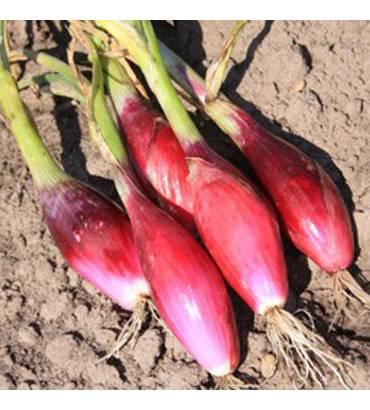 cebola-rosso-di-firenze-bio-0-2g